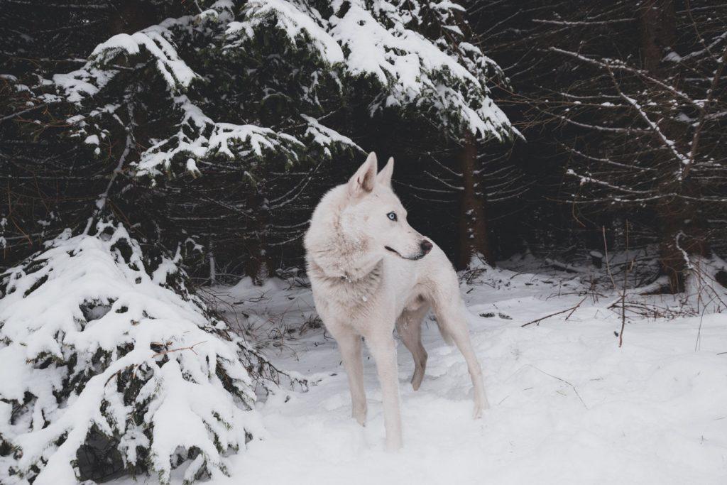 Cuerpo del lobo - Anatomía - Blog de lobos → TusLobos.Com